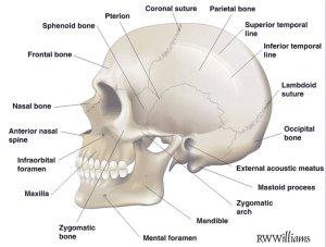 Anatomical%20features%20of%20the%20skull.jpg-675x550