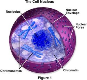 cellnucleus