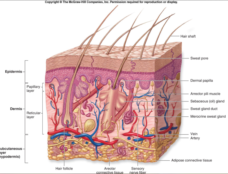 Integumentary System Study guide | A & P Source